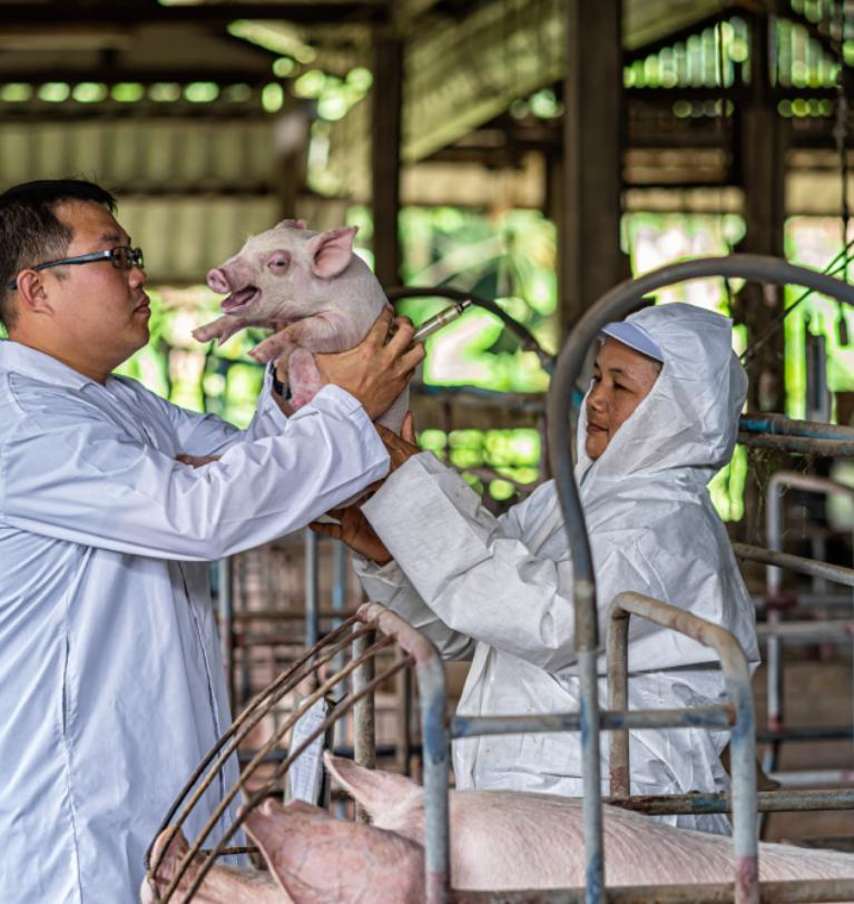 La influencia de la eficiencia nutricional en la producción de porcino